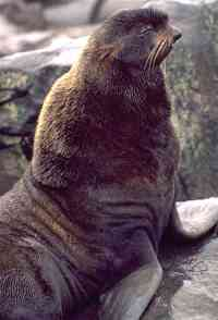 Male Northern Fur Seal, <em>Callorhinus ursinus</em>.