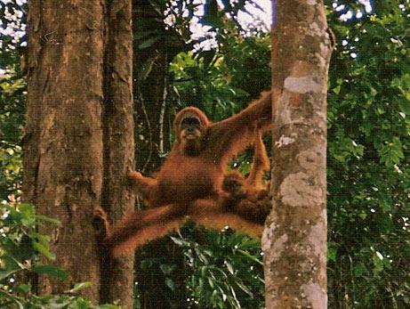 Orangutan Walking Arms Up