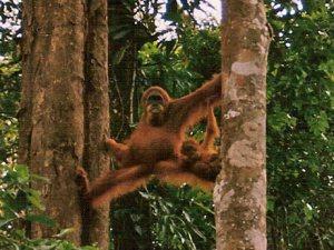 Spread Eagle Orangutan