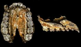 A. afarensis Dentition