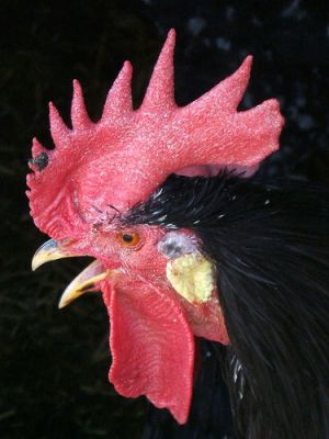 Chicken Rooster