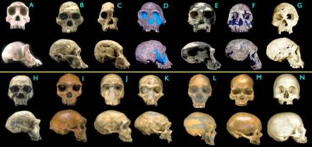 An image similar to an image comparing the skull of Homo Sapiens to several other early hominids.