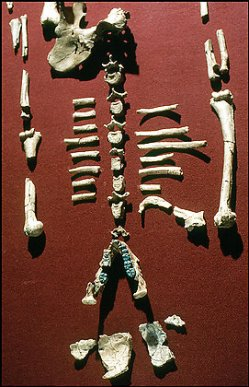 Remains of Lucy - Australopithecus afarensis