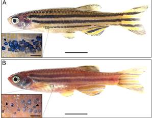 Zebrafish Pigment and SLC24A5 gene