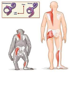 Comparison of Chimpanzee to Human Biomechanics