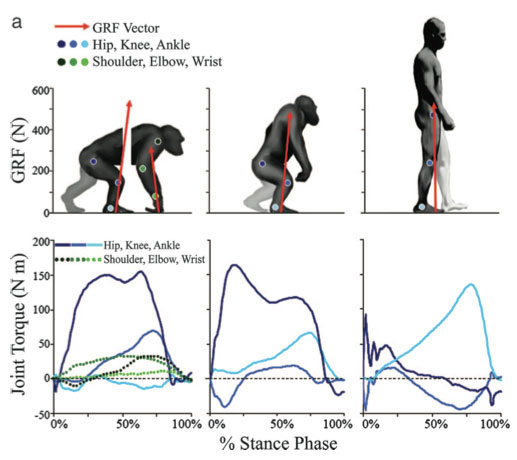 Chimpanzees Gait Energetics Amp The Origin Of Human