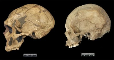 Neandertal and modern human cranial differences.