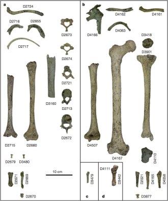 Lordkipandize, et. al., 2007 - Figure 2: Dmanisi Postcranial Elements
