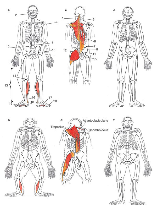 the role of the achilles tendon on the origins of bipedalism, Skeleton
