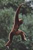 Gibbon Walking on a Vine
