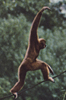 Gibbon Walking on a Vine