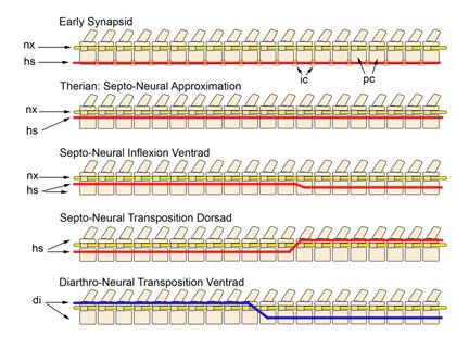 Septo-neural Transposition