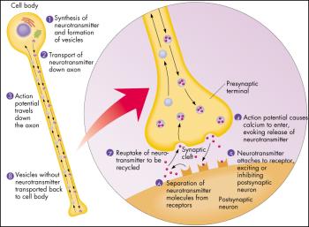 Neuron Synapse