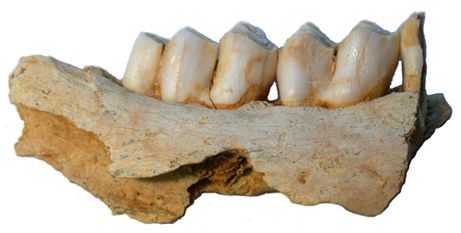 Reindeer jawbone from a site in France