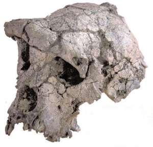 The Toumaï Cranium