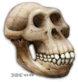 Drawing of a Australopithecine Skull
