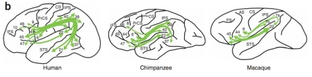 A Diagram of the arcuate fasciculus of Humans, Chimps, and Macaques