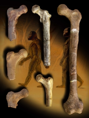 Femora of early hominids, Orrorin, and humans