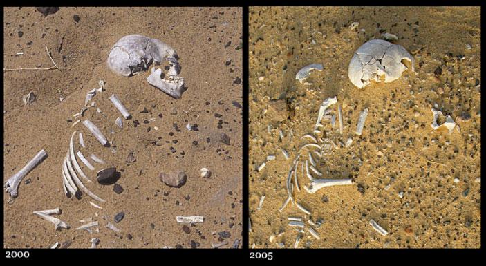 Weathering of an exposed skeleton at Gobero, Niger