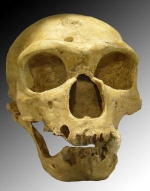 Homo neanderthalensis from la Chapelle aux saints