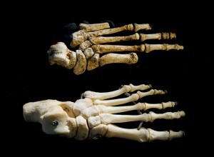 Homo floresiensis' foot compared to a modern human's
