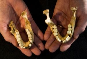 Homo floresiensis mandibles
