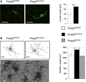 Foxp2(hum) Increases the Length of Dendritic Trees