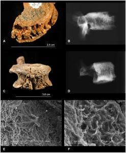 Australopithecus africanus Stw 431