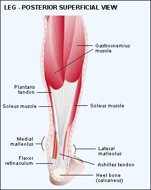 Posterior Leg Muscles   Anthropology.net