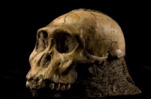 Australopithecus sediba (specimen UW88-50)