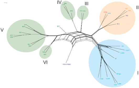 Phylogenetic network — Clade I includes European/North American strains, Clade II comprises East Asian strains and III, IV, V and VI are East African. HSV-2 was used as an outgroup. Splitstree 4 was used to generate the network. The viral isolates are colored according to country of origin and are as follows: U.S.A: light blue, U.K.: dark blue, China: red, South Korea: purple, Japan: orange, and Kenya: green. (Kolb, Brandt, et al/PLoS)