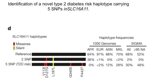 Graphical depictions of SLC16A11 haplotypes constructed from the synonymous and four missense SNPs associated to type 2 diabetes, with haplotype frequencies derived from the 1000 Genomes Project and SIGMA samples. AFR, African (n = 185); ASN, east Asian (n = 286); EUR, European (n = 379); MXL, Mexican samples from Los Angeles (n = 66). Frequencies from SIGMA samples are calculated from genotypes and represent either the entire data set (All) or only samples estimated to have≥95% Native American ancestry (≥95 NA, n = 290; Supplementary Methods). Haplotypes with population frequency <1% are not depicted.
