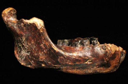 The recovered jawbone of Penghu 1 reveals it belonged to a new species with large teeth.  Y. KAIFU