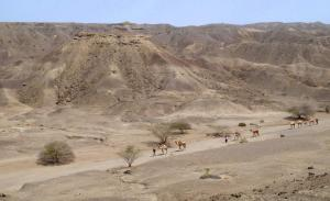Another view of a camel caravan as the animals move across the so-called Lee Adoyta region in the Ledi-Geraru research site near where researchers discovered the early Homo mandible. The hills behind the camels reveal sediments that are younger than 2.67 million year old, providing a minimum age for the partial mandible dubbed LD 350-1, say the scientists. (Photo credit: Erin DiMaggio, Penn State)