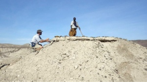Chris Campisano, of Arizona State University, samples a tuff in the Ledi-Geraru project area in Ethiopia with support from Sabudo Boraru. (Photo credit: J Ramón Arrowsmith)