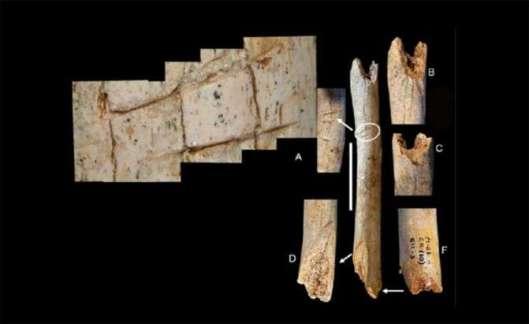 Cut marks are observed on the femur of the Neanderthal child. Credit: M.D. Garralda et al
