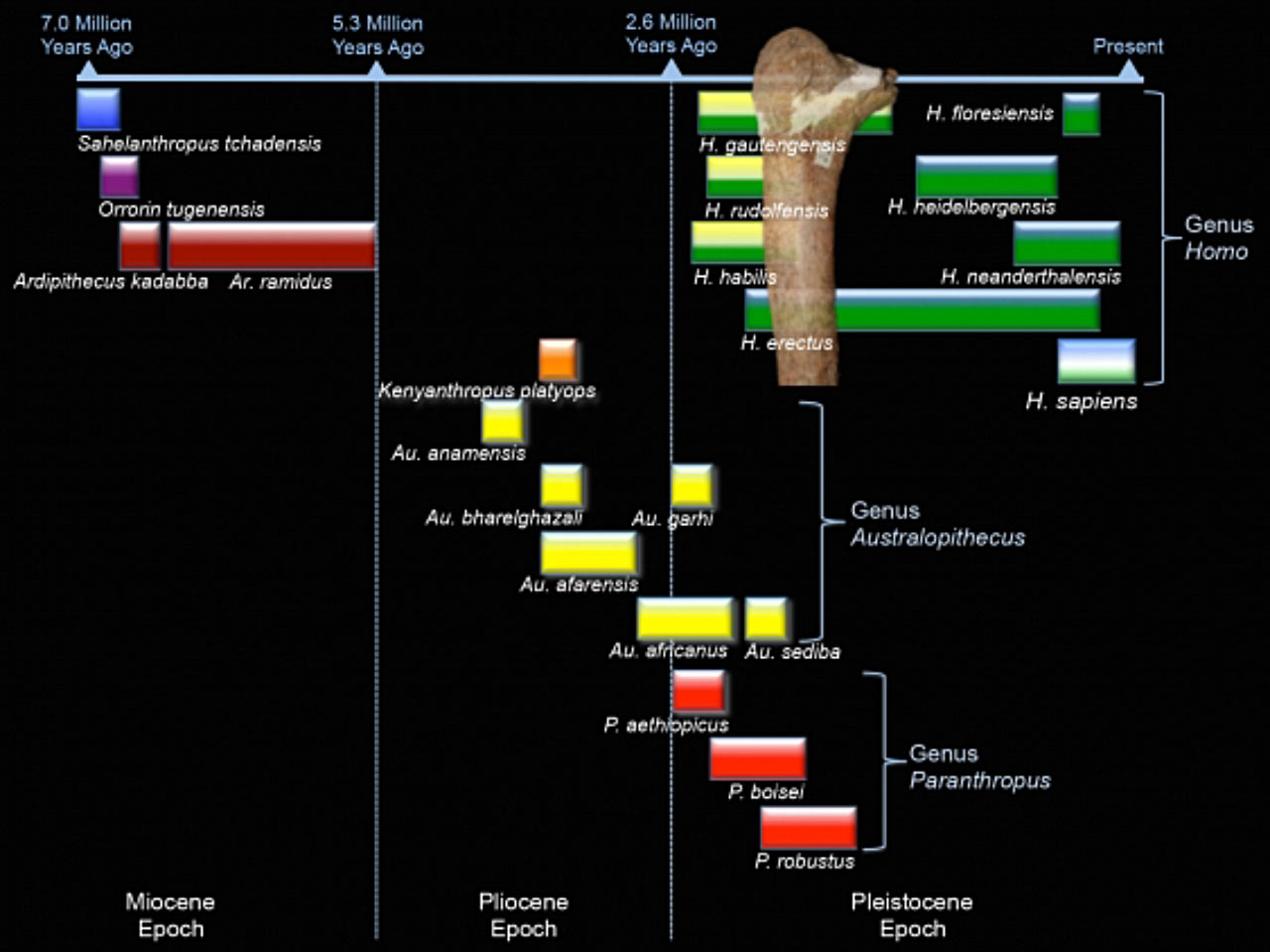 Human evolution timeline showing where the Maludong femur probably fits. Image credit: Darren Curnoe / Ji Xueping.
