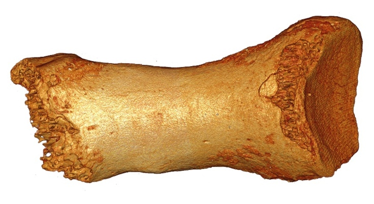 Dorsal view of the Neanderthal woman's toe bone. Photograph: Bence Viola