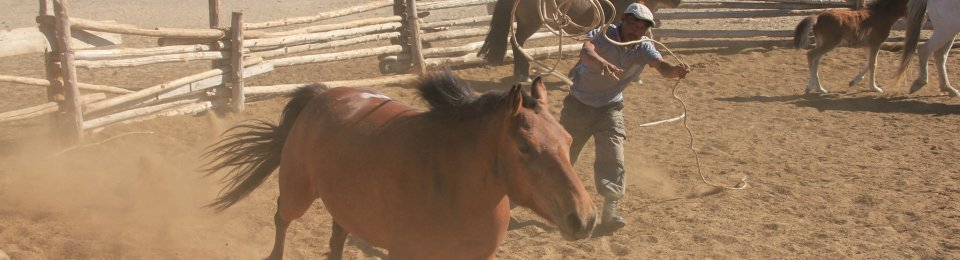 A Mongolian horse breeder catching horses. LUDOVIC ORLANDO / NATURAL HISTORY MUSEUM OF DENMARK / CENTRE NATIONAL DE LA RECHERCHE SCIENTIFIQUE