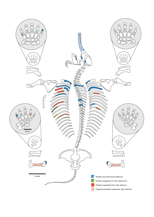 Mastodon skeleton schematic showing which bones and teeth of the animal were found at the site. (Dan Fisher and Adam Rountrey, University of Michigan)