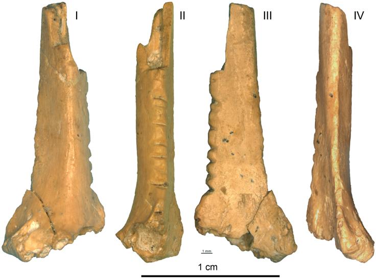 Fig 3. A Corvus corax bone fragment with notches from Zaskalnaya VI, layer III. Scale = 1 cm.