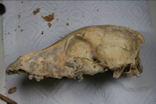 This dog cranium was discovered in Germany in 2010, next to Neolithic human remains. The skull is about 4,700 years old. Photo by Amelie Scheu