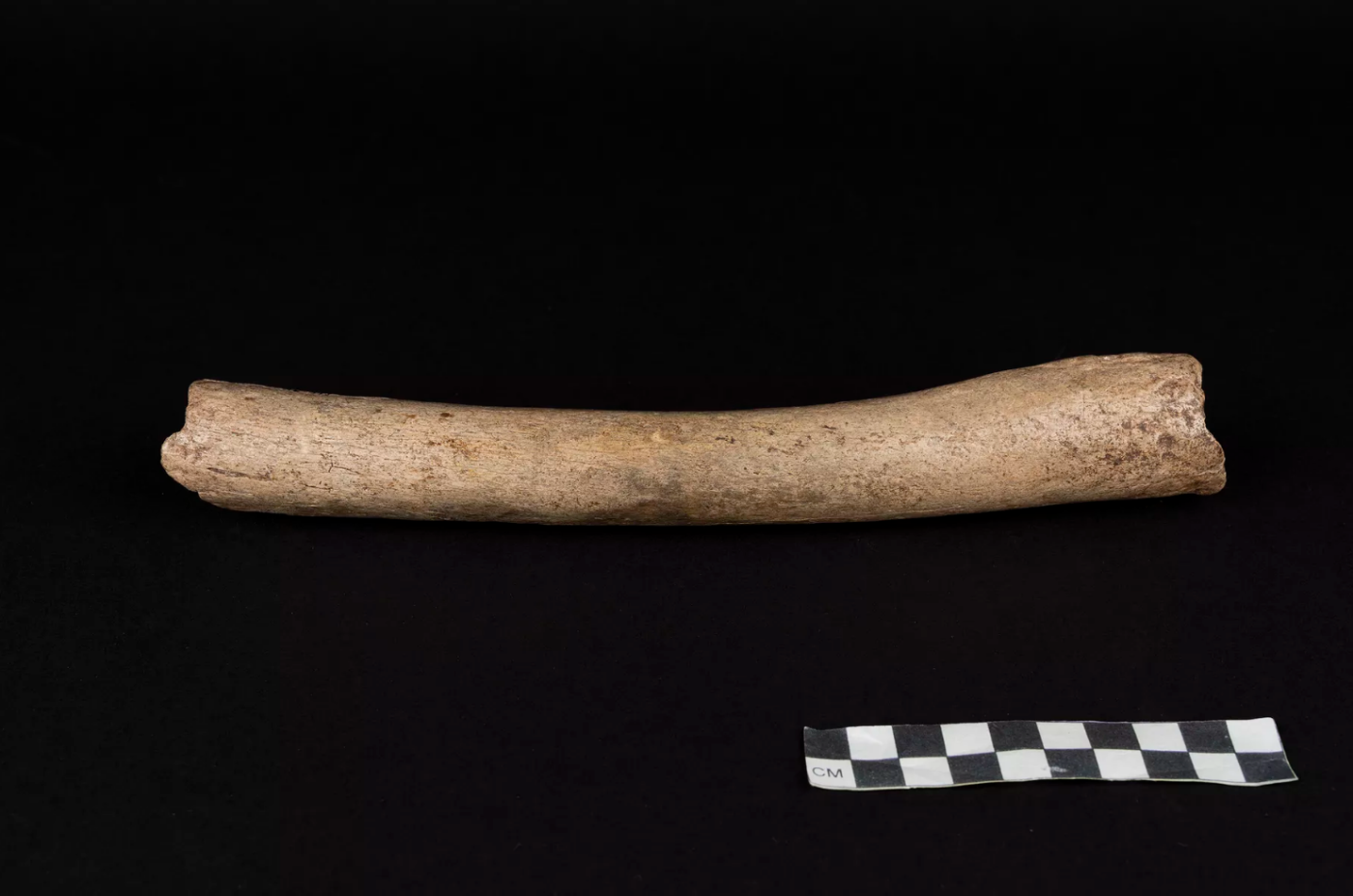 A Neanderthal thigh bone known as the Hohlenstein-Stadel femur, discovered in German in 1937. Photo by Oleg Kuchar/Museum Ulm