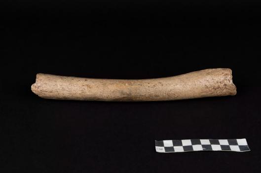 A Neanderthal thigh bone known as the Hohlenstein-Stadel femur, discovered in German in 1937. Photo by Oleg Kuchar/Museum Ulm