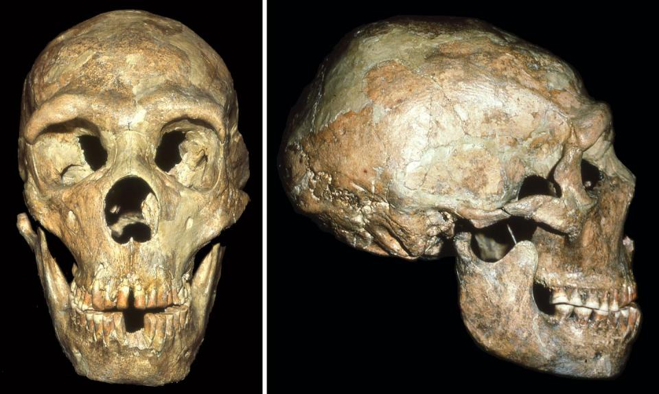 The skull of a Neandertal known as Shanidar 1 shows signs of a blow to the head received at an early age. CREDIT Erik Trinkaus