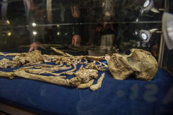 "The skull of Australopithecus prometheus, known as ""Little Foot,"" is on display now. PHOTOGRAPH BY MUJAHID SAFODIEN, AFP, GETTY"