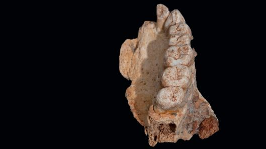 Partial upper jaw bone from Misliya Cave in Israel dates to between 177,000 and 194,000 years ago and is said to belong to Homo sapiens. Credit: Israel Hershkovitz Tel Aviv University
