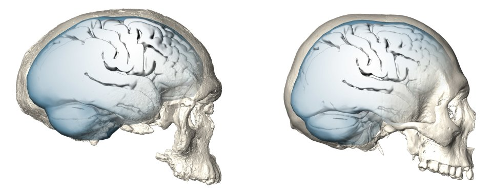 Brain shape evolution in Homo sapiens: brain shape of one of the earliest known members of our species, the 300,000… [more] © MPI EVA/ S. Neubauer, Ph. Gunz (License: CC-BY-SA 4.0)