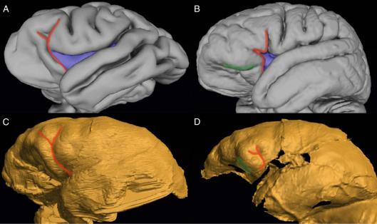 3D model of a Chimpanzee brain; B: 3D model of a human brain; C: endocast of an Australopithecus sediba skull; D: endocast of a Homo naledi skull. Hawks et al. 2018