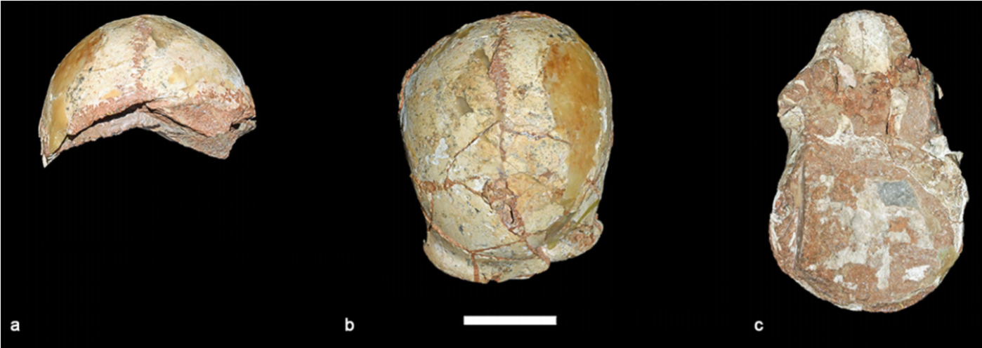 Apidima 1. A view of the Apidima 1 skull from behind (a), above (b), and below (c). The scale bar represents 5 cm. Harvarti et al., 2019